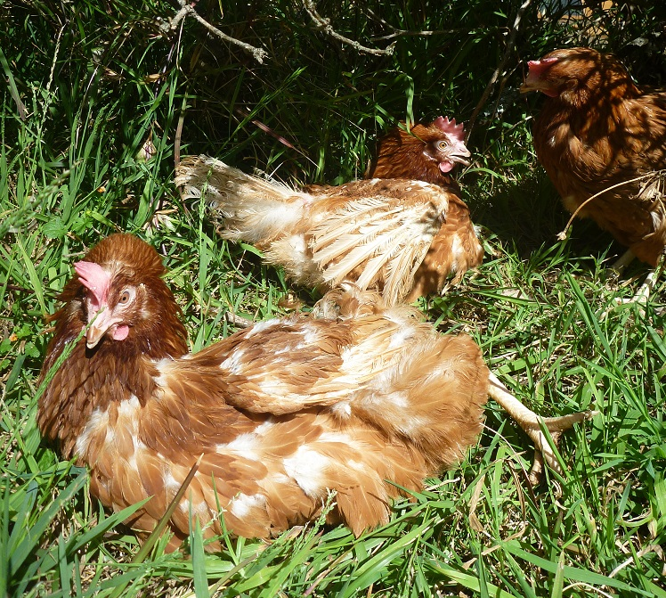 Welcome to NSW Hen Rescue!